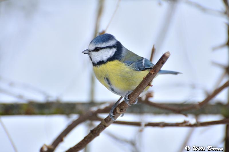 mésange bleue Dpp_-bleue--0005-3d23c52