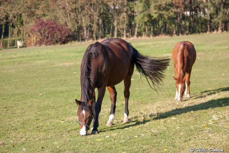 des chevaux Dpp_-chevaux--0002-3c61214